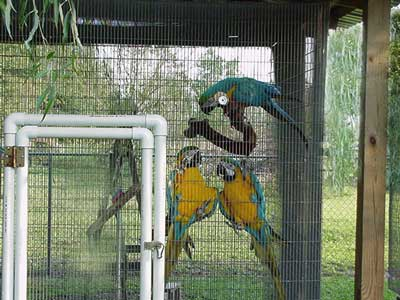 Blue & Gold Macaw At Sweetacrebirdfarm.com